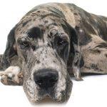 Wofür werden Deutsche Doggen gezüchtet?