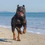 Rottweiler Temperament: Wie ist es, einen zu besitzen?