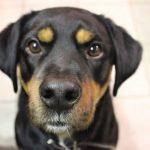 Mini Rottweiler: Alles, was Sie wissen müssen