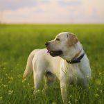 Deutsche Dogge/Labrador-Mischungen [Guide]